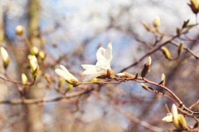 Obraz Wiosna kwiat magnolii