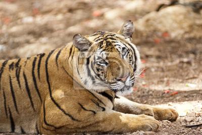 Wpatrując tygrysa