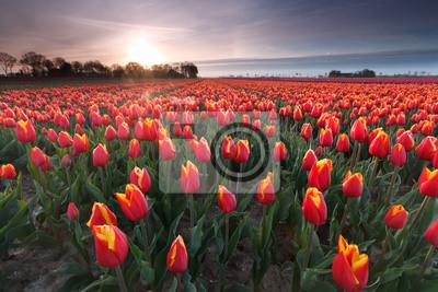 Obraz wschód słońca nad pola tulipanów czerwony
