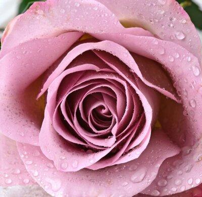 Obraz Wspaniała, piękna, fiołek róża :)