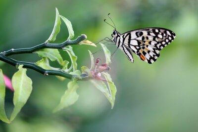 Obraz Wspólna Lime Motyl w ogrodzie