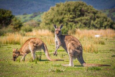 Obraz Wypas Kangury