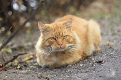 Obraz Рыжий толстый кот
