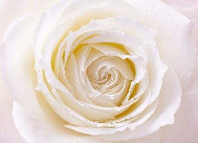 Obraz バラ, 蔷薇