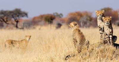 Obraz Yankees Cheetah na termity zamontować
