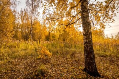 Obraz Yellow leaf fall in the birch forest in golden autumn on sunset. Landscape with trees on a sunny day and footpath.