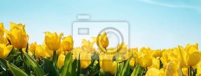 Obraz yellow tulips on field