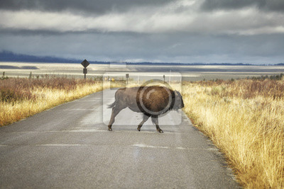 Young American bison crosses a road in Grand Teton National Park, Wyoming, USA.