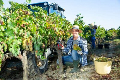 Obraz Young man winemaker picking harvest of grapes in vineyard at fields