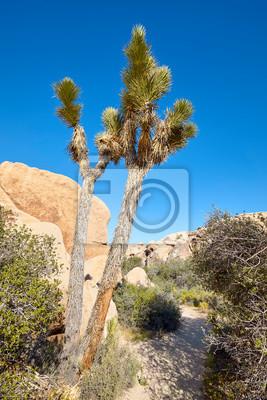 Yucca brevifolia in the Joshua Tree National Park, California, USA.