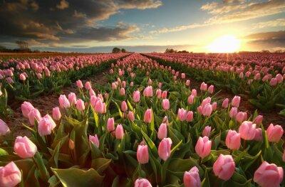 Obraz Zachód słońca nad różowym polu tulipanów