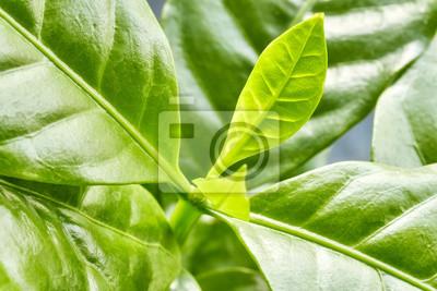 Zamknij się obraz liści kawy arabica, selektywne focus.