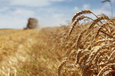 Obraz Zbiorów pszenicy