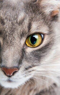 Obraz Zbliżenie Kot szary z żółtym oka