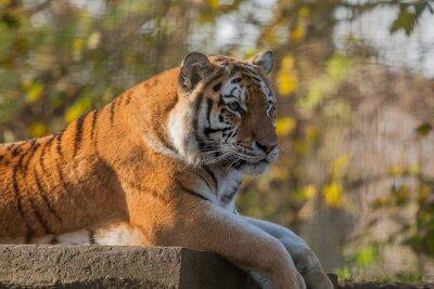 Obraz zdjęcie spoczynku indyjski tygrys