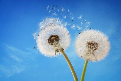 Obraz Zegar Dandelion rozpraszając nasienie