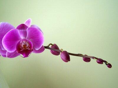 Obraz zen Phalaenopsis