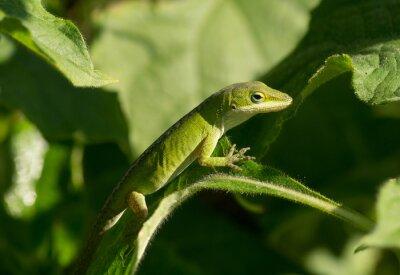 Obraz Zielona Anole