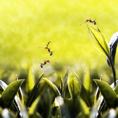 Obraz Zielona herbata z liści mrówki na nim