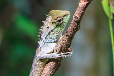 Obraz Zielona jaszczurka grzebieniasta