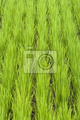 Zielona paddy field