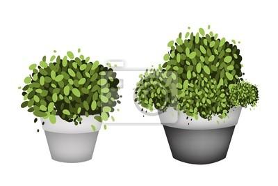 Obraz Zielone Drzewa W Terakotowa Doniczki Na Białym Tle 34173976
