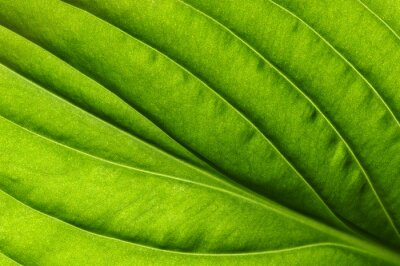 Obraz zielony liść tekstury