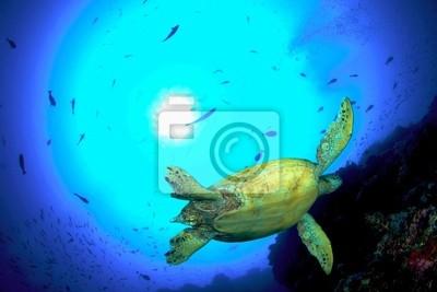 Zielony żółw, Sipadan, Malezja