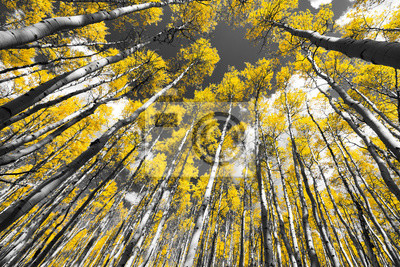 Obraz Złota Jesień Aspen drzew leśnych w górach Colorado