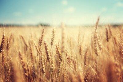Obraz złote pola pszenicy i słoneczny dzień