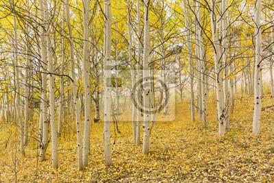 Złoty Aspen Grove