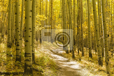 Złoty Aspen w Colorado Trail Las