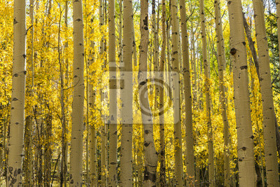 Złoty Las Aspen