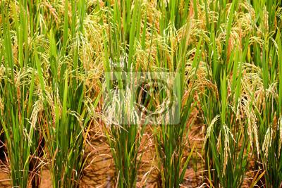 Złoty pola ryżowego Dolinie Bacson w Wietnamie