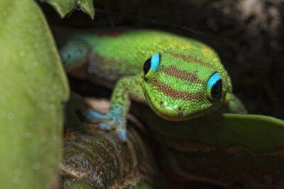 Obraz Złoty pył dni gecko, patrząc na ciebie