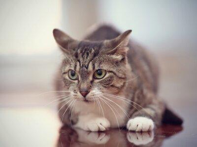 Obraz Zły szare paski kot z zielonymi oczami.