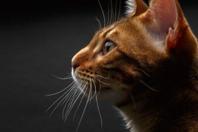 Obraz zobacz profil zbliżenie kot bengalski