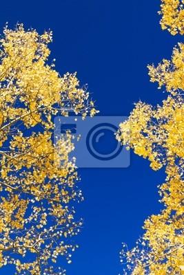 Żółte Aspen Liście na błękitne niebo