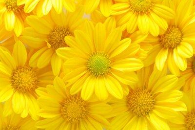 Obraz żółte kwiaty chryzantemy