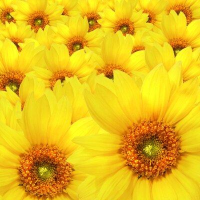Obraz Żółte kwiaty słonecznika na szczycie siebie