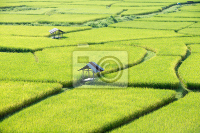 Żółte pola ryżowe