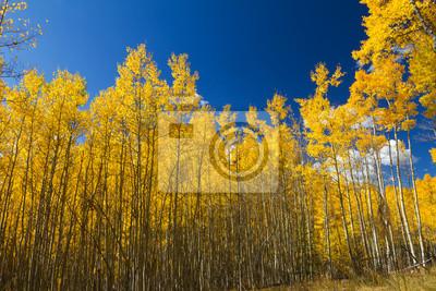 Żółty Aspen Kontrast Drzewa niebieskim tle nieba