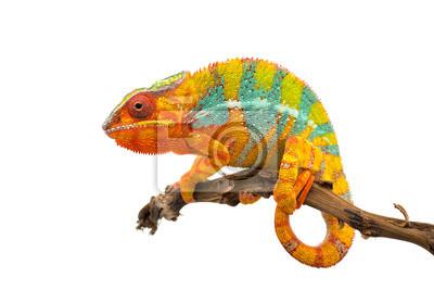 Obraz Żółty niebieski jaszczurka Pantera kameleon na białym tle