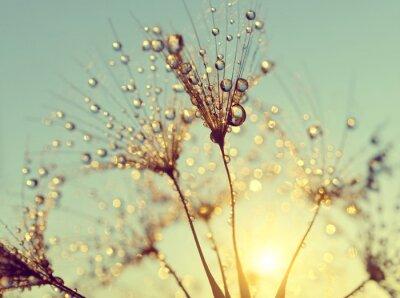 Obraz Zroszony kwiat mniszka lekarskiego o zachodzie słońca bliska