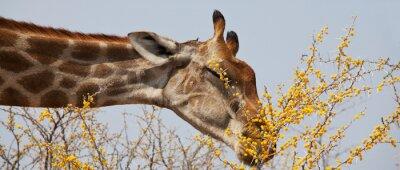 Obraz żyrafa