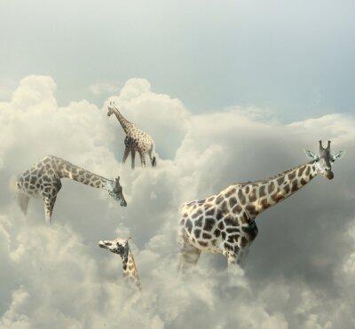 Obraz Żyrafy Paradise
