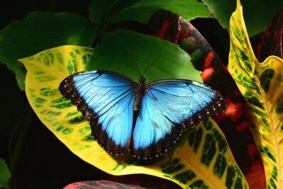 Plakat A całkiem niebieski motyl Morpho ląduje w ogrodach Butterfly.