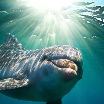 Plakat A dolphin underwater with sunbeams. Closeup portrait