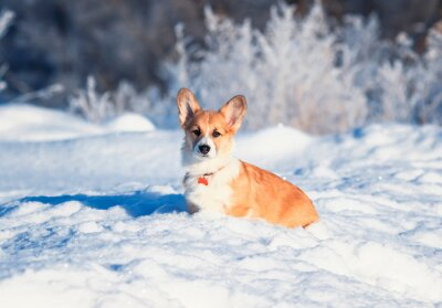 a portrait of the animal little red Corgi puppy walks in the Sunny winter pack in white snow