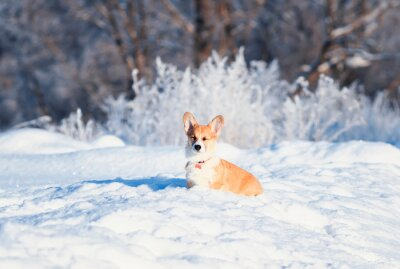 a portrait of the animal little red Corgi puppy walks on a Sunny winter's rations in the deep white snow and shut his eyes